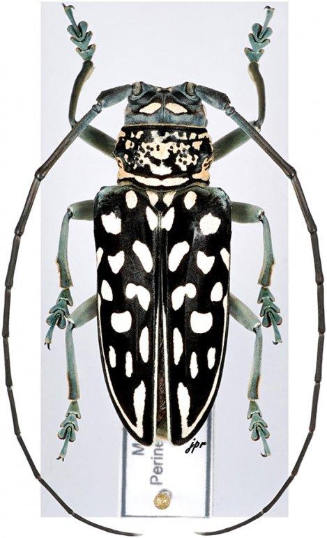 Stellognatha maculata