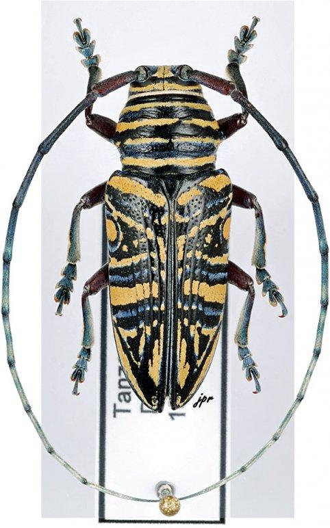 Zographus hieroglyphicus
