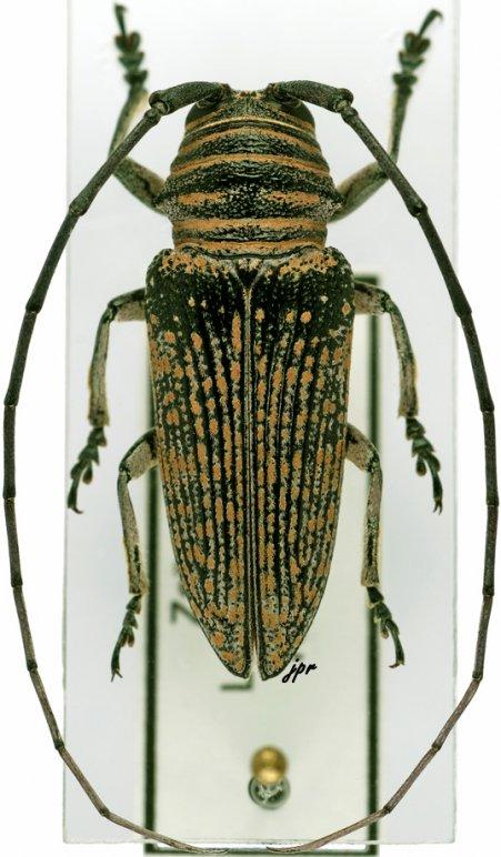 Zographus lineatus
