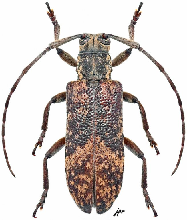 Planodema congoensis congoensis