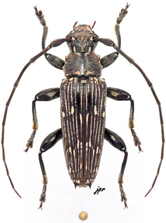 Pascoea parcemaculata