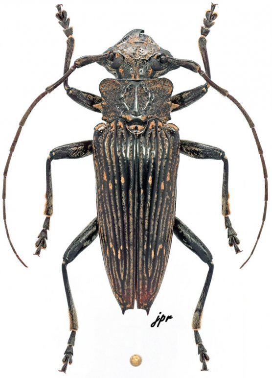Pascoea spinicollis