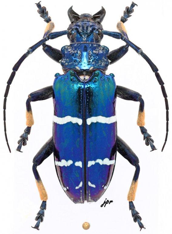Sphingnotus mirabilis admirabilis