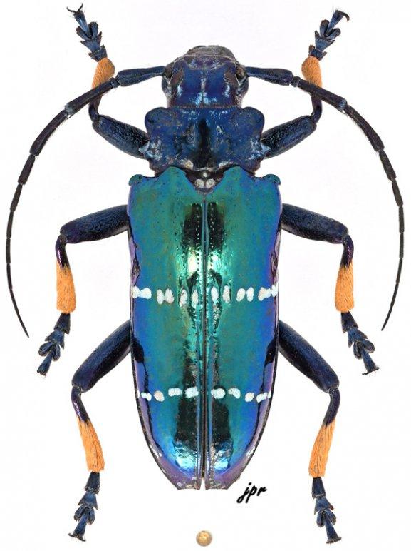 Sphingnotus mirabilis mirabilis