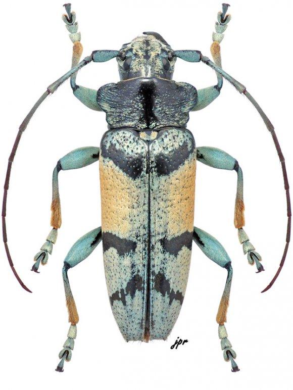 Tmesisternus albari
