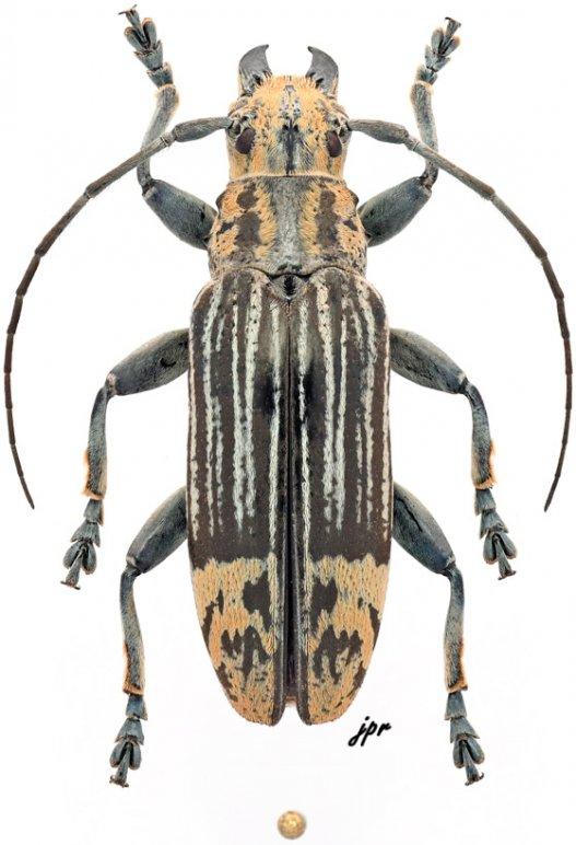 Tmesisternus elegans