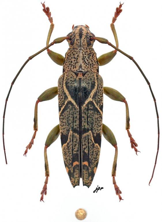 Tmesisternus hieroglyphicus