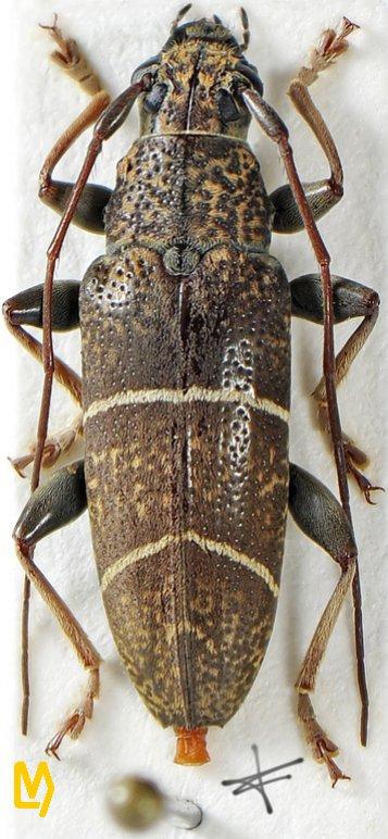Tmesisternus oblongus