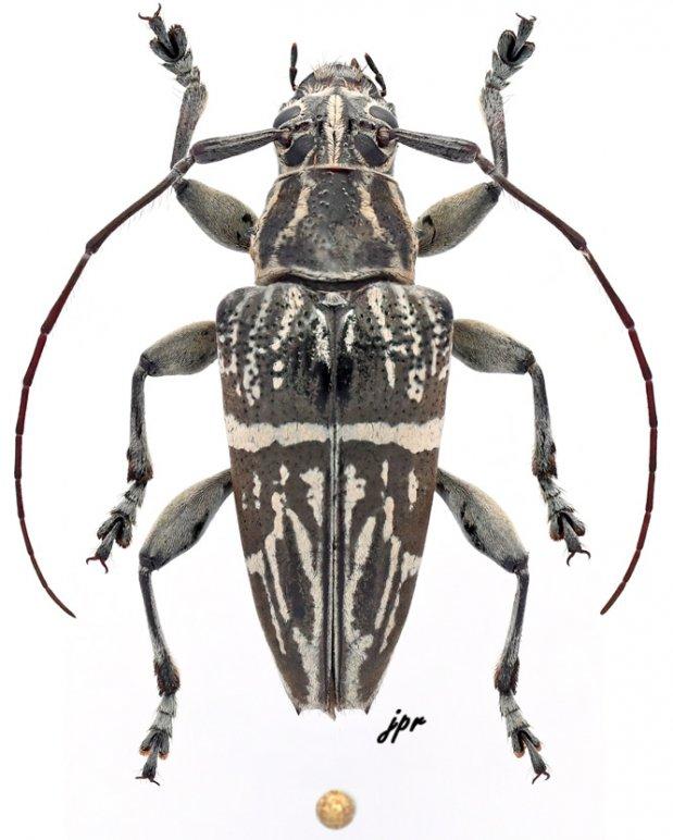 Trigonoptera maculata