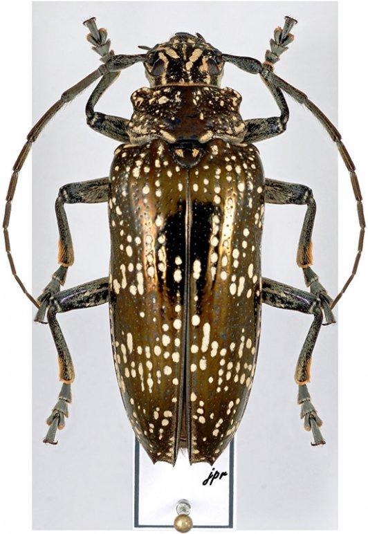 Sphingnotus dunningi dunningi