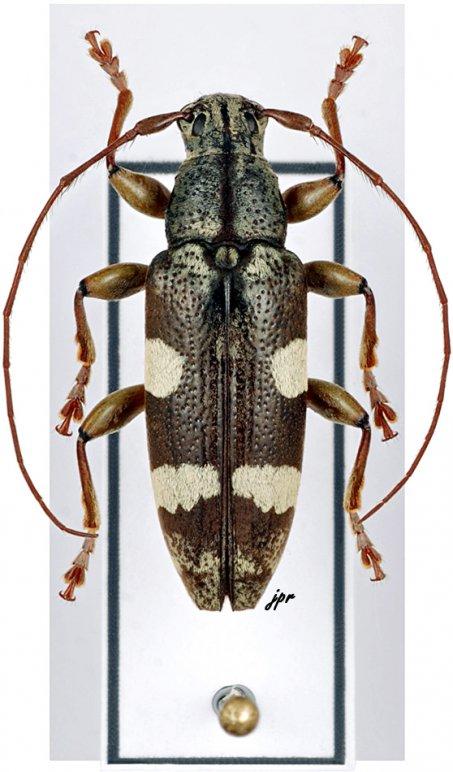 Tmesisternus lotor externemaculatus