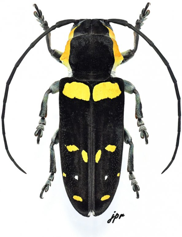 Tragocephala nobilis
