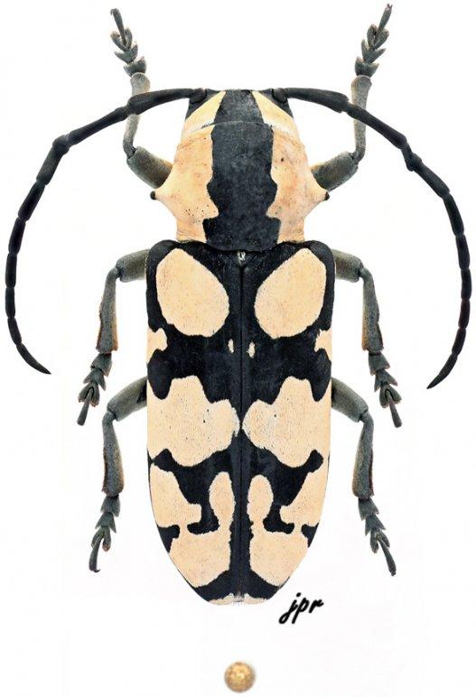 Tragocephala
