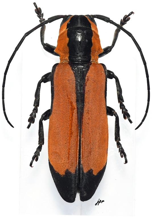 Tragocephala tournieri