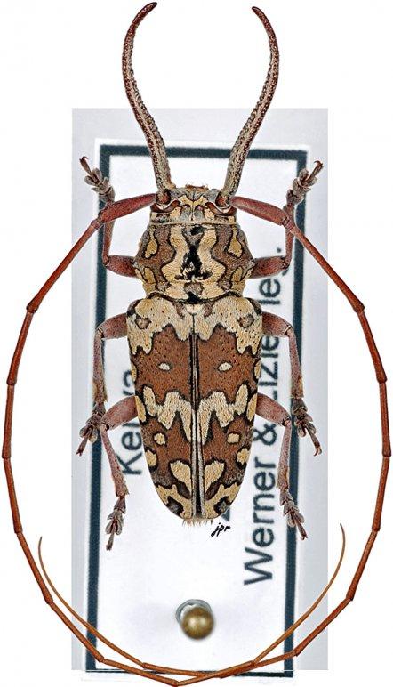 Chariesthoides bicornuta
