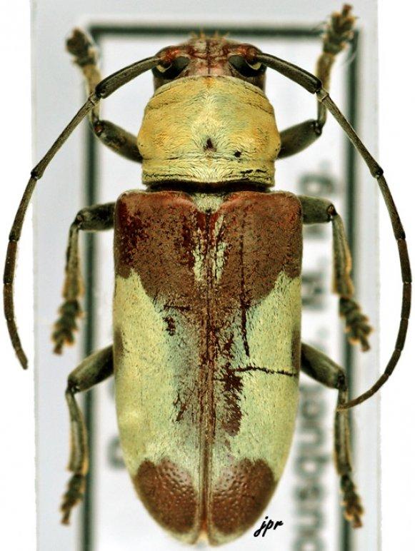 Murosternum latefasciatum