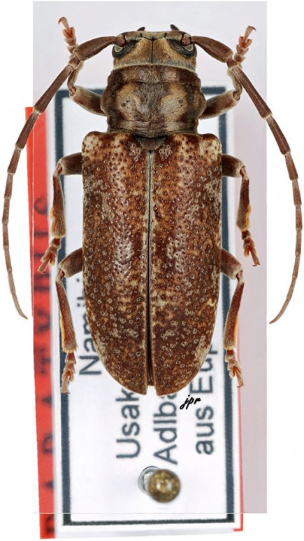 Ontochariesthes erongoensis