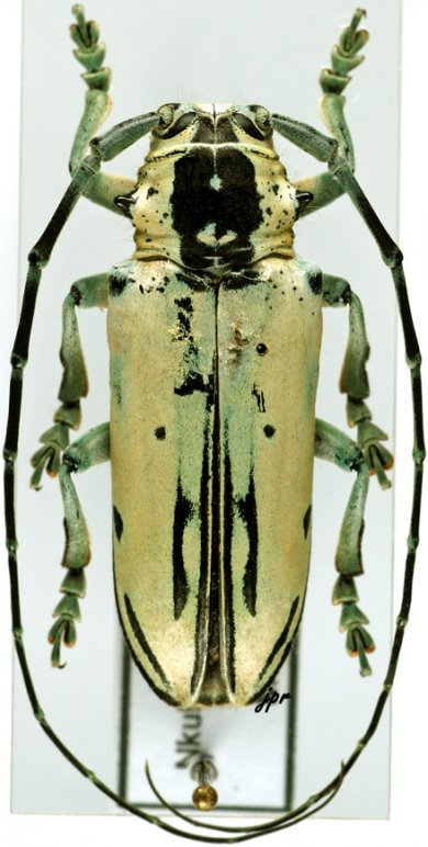 Paraphosphorus hololeucus