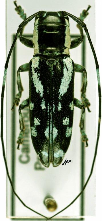 Plagiomus multinotatus