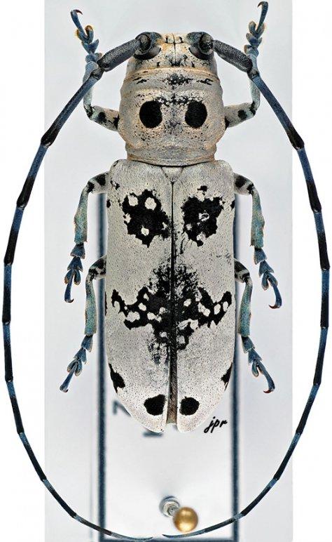 Rhaphidopsis melaleuca