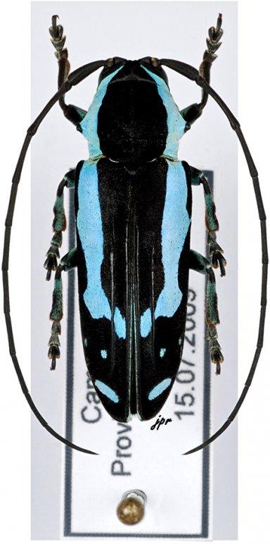 Tragocephala caerulescens