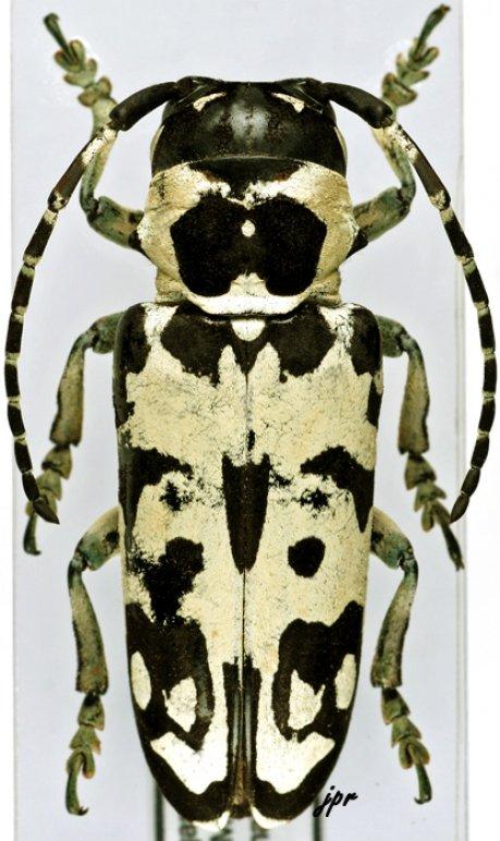 Tragocephala crassicornis