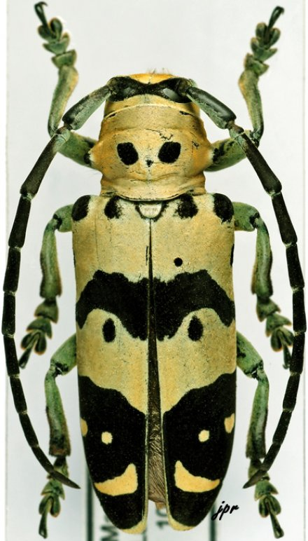 Tragocephala freyi