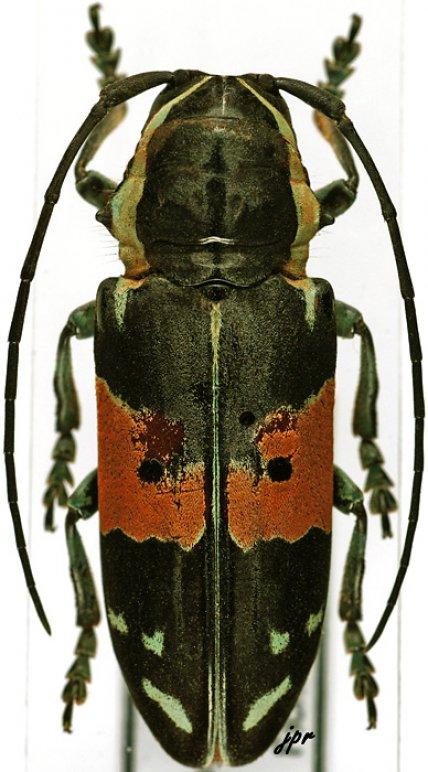 Tragocephala guerinii