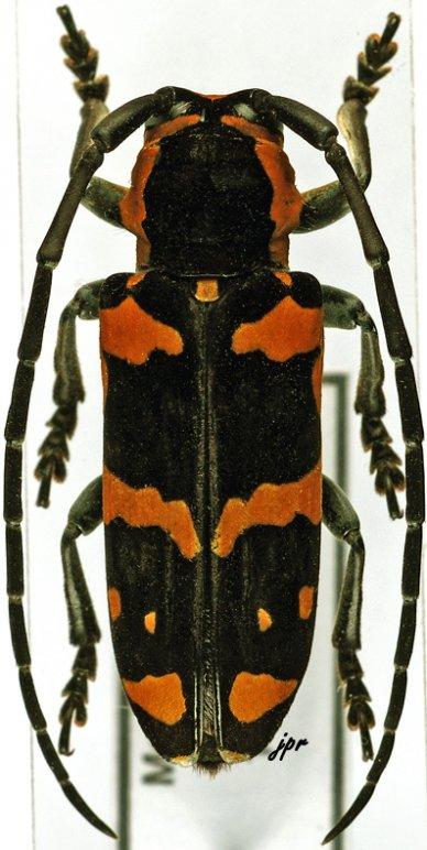 Tragocephala jucunda