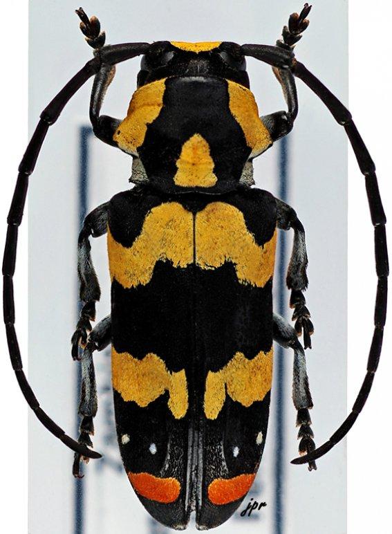 Tragocephala mima