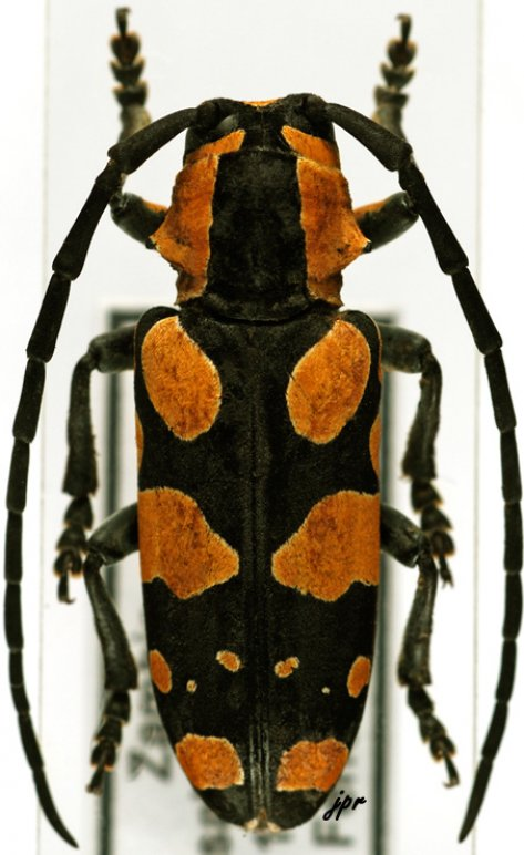 Tragocephala mixta