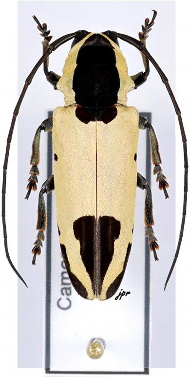 Tragocephala mniszechii