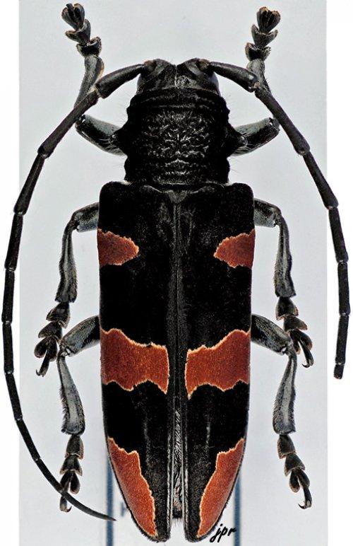 Tragocephala morio