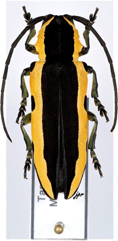 Tragocephala univittipennis