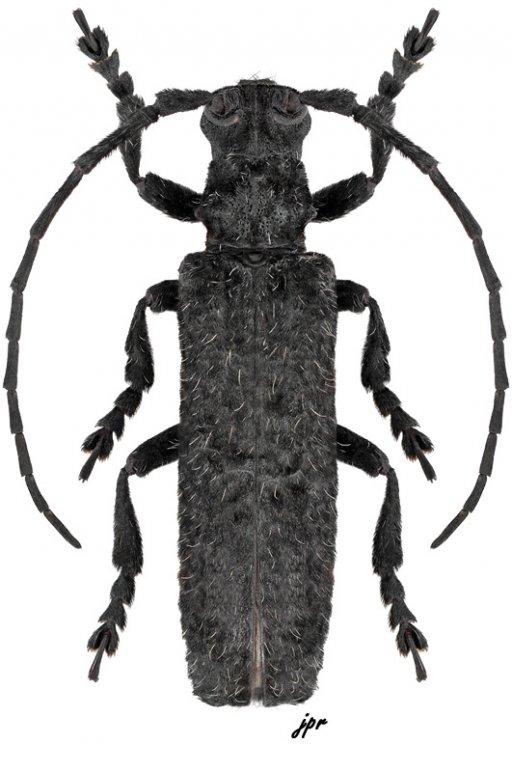 Cymatura nigra