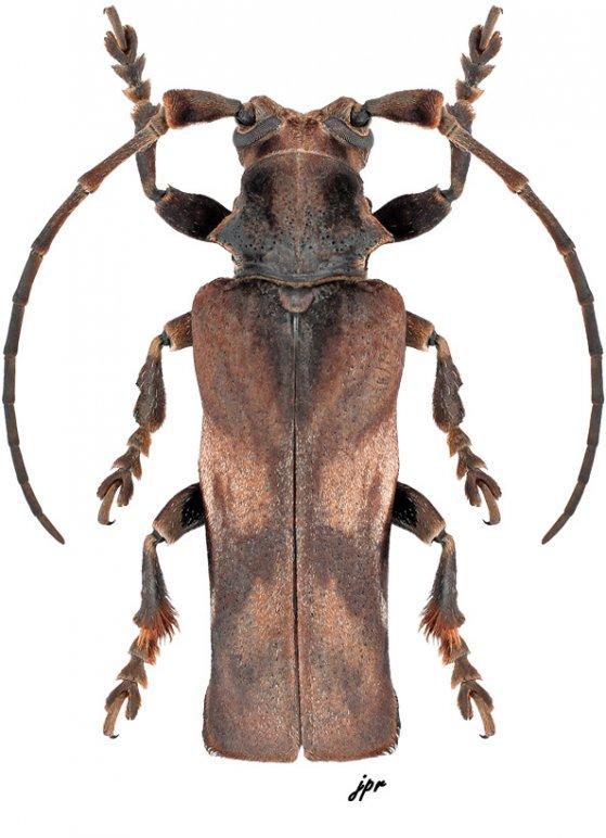 Thylactus angularis