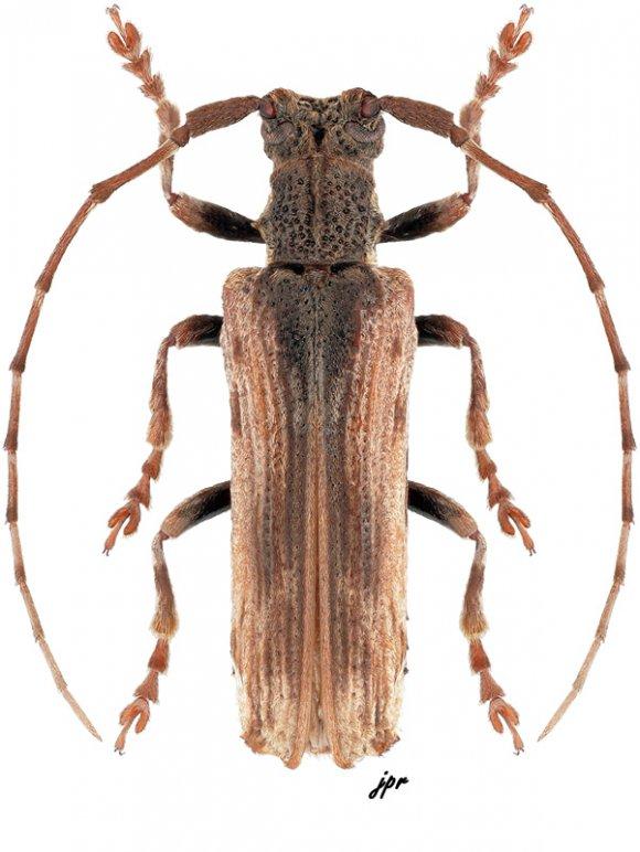 Thylactus javanicus