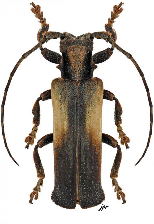 Thylactus lateralis