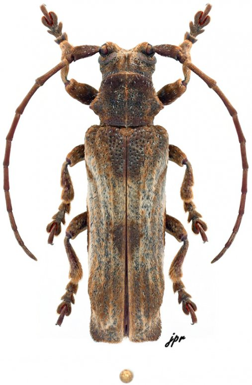 Thylactus zuberhoferi