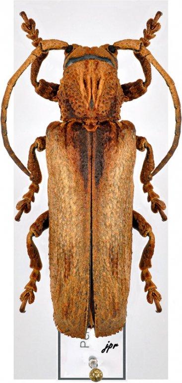 Thylactus itzingeri