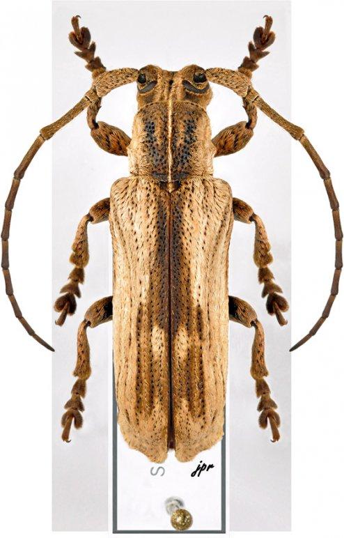 Thylactus mjoebergi