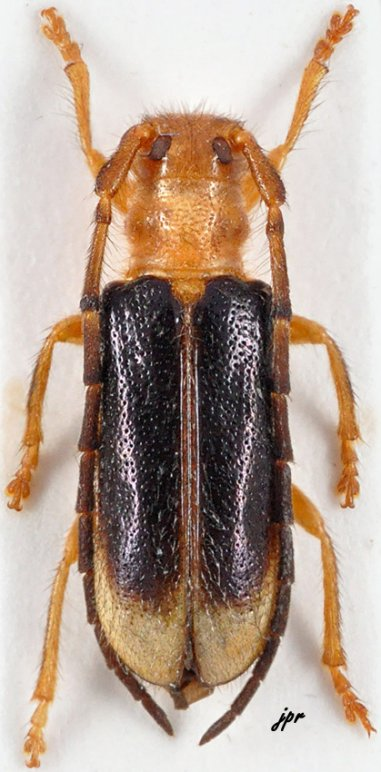Bacchisa dioica
