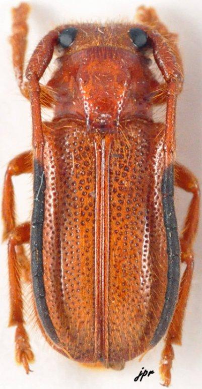 Hecphora testator