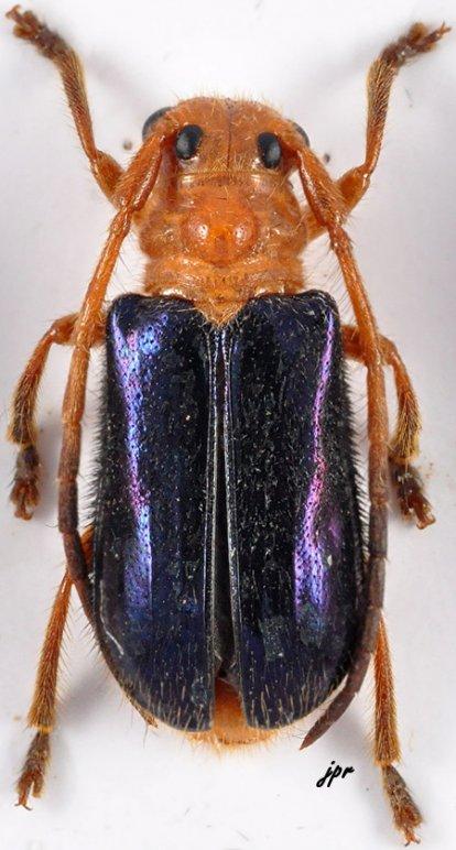 Tetraophthalmus violaceipennis