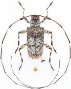 Acanista alphoides, ♀, Acanthocinini, Western New Guinea
