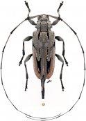 Acanthocinus nodosus, ♀, Acanthocinini, Louisiana