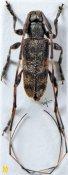 Acanthocinus sinensis, ♂, Acanthocinini, Sichuan