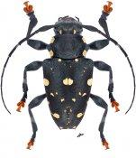 Acanthoderes daviesii, ♀, Acanthoderini, French Guiana