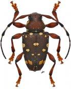 Acanthoderes laevicollis, ♀, Acanthoderini, Nicaragua