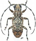 Acmocera conjux conjux, ♀, Acmocerini, Gabon